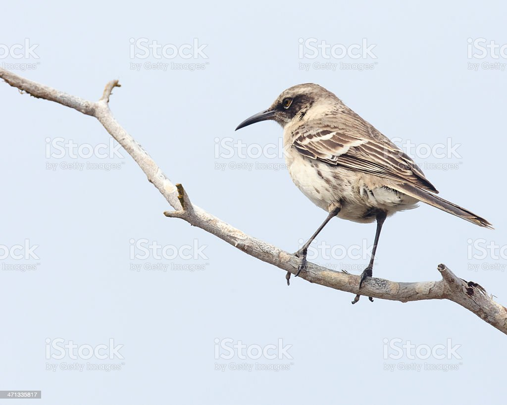 Galapagos: A 'Darwin's Mockingbird' Supporting Theory of Evolution royalty-free stock photo