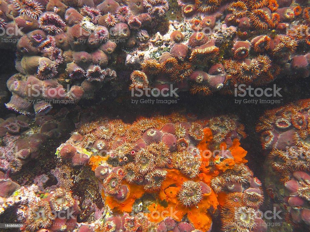 Galapagos: Anemones and Soft Coral, Isla Isabella royalty-free stock photo