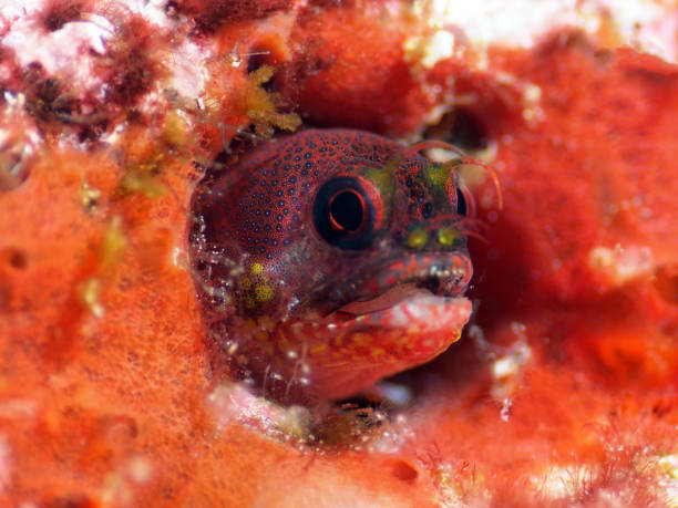 Galapagos Barnacle Blenny Fish stock photo