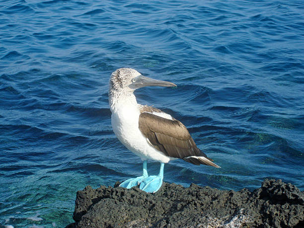 Galapagos Blue Footed Booby stock photo