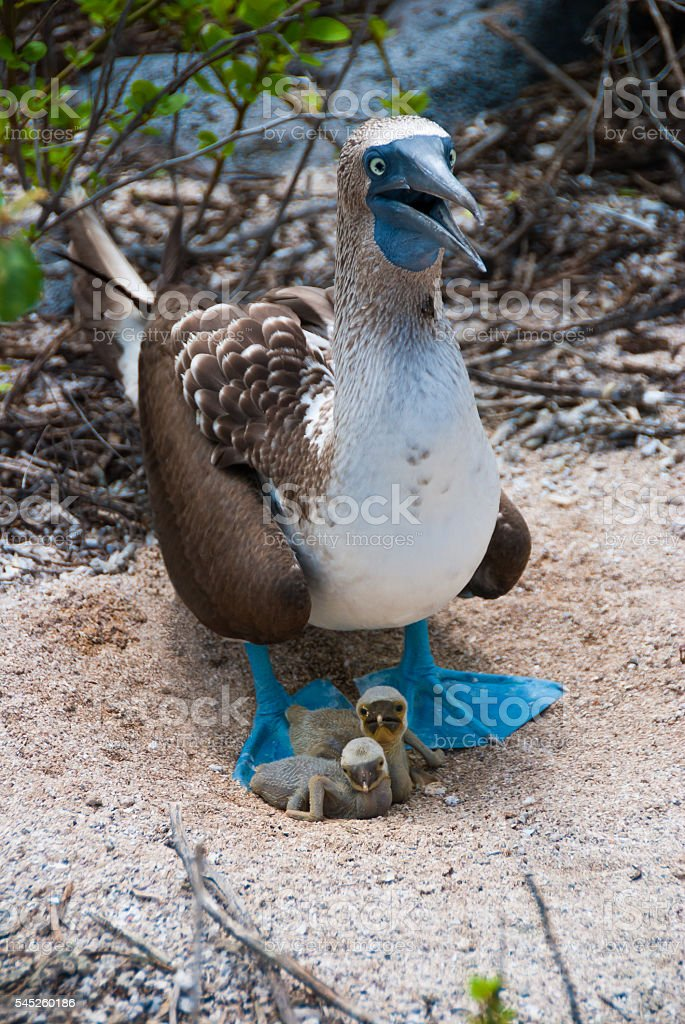 Galapagos blue-footed booby shelters two newly-hatched chicks. stock photo
