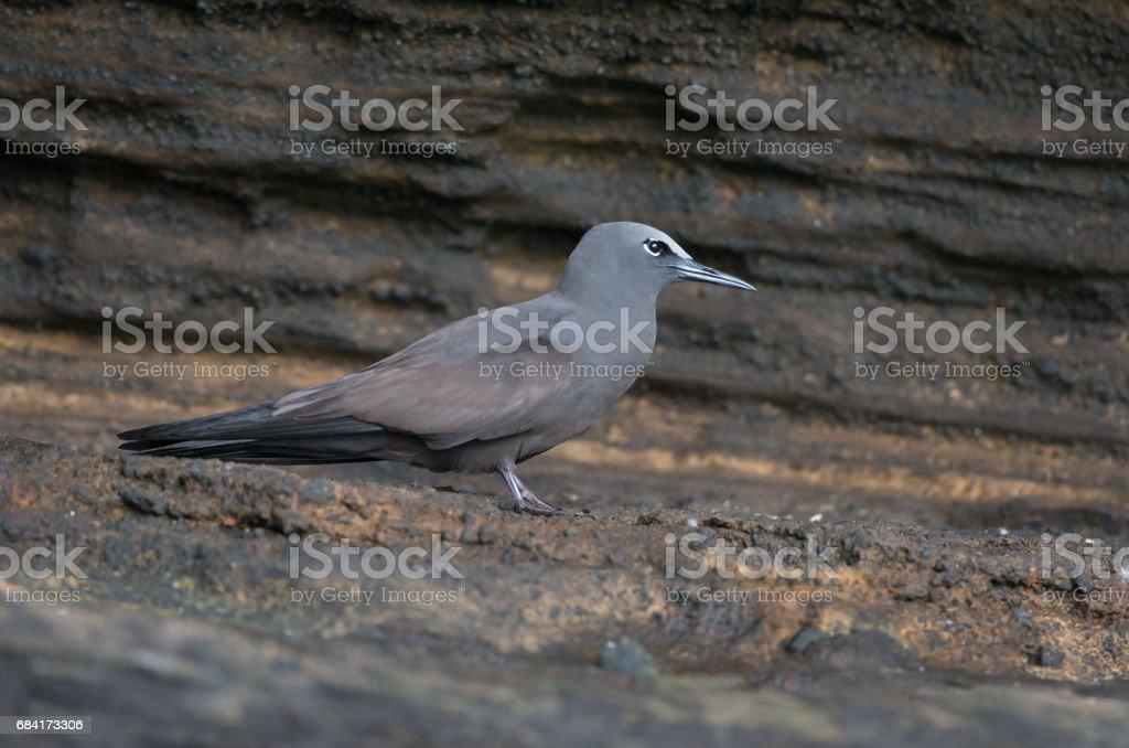 Galápagos Brown Noddy Tern - foto de stock
