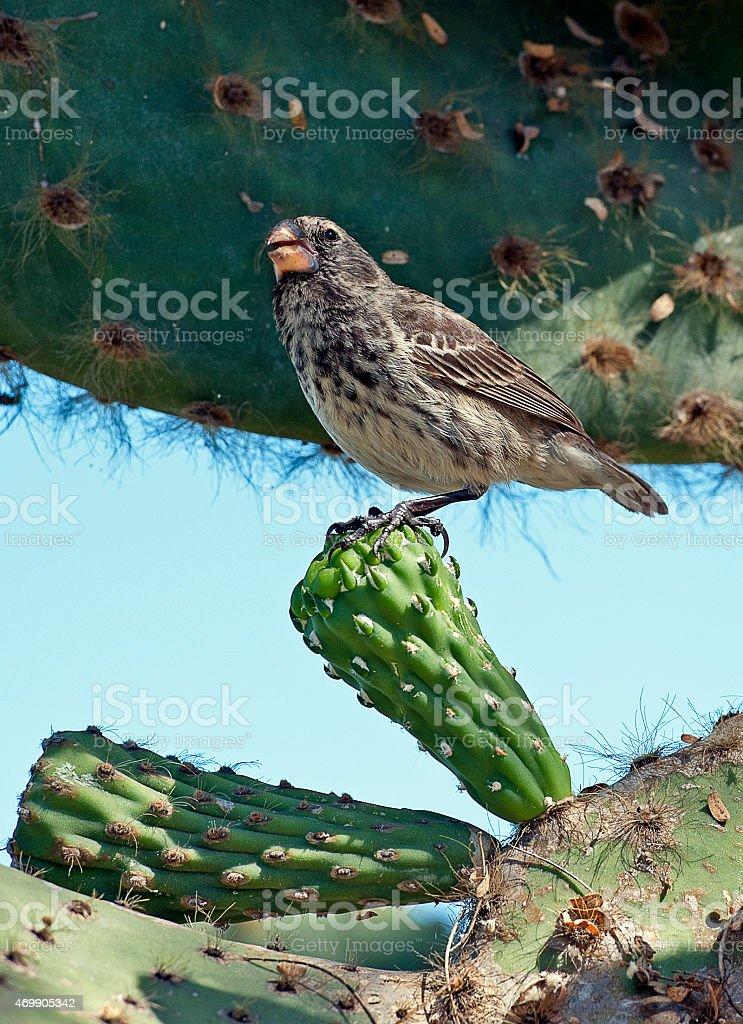 Galapagos Finch on cactus, Galapagos Islands, Ecuador stock photo