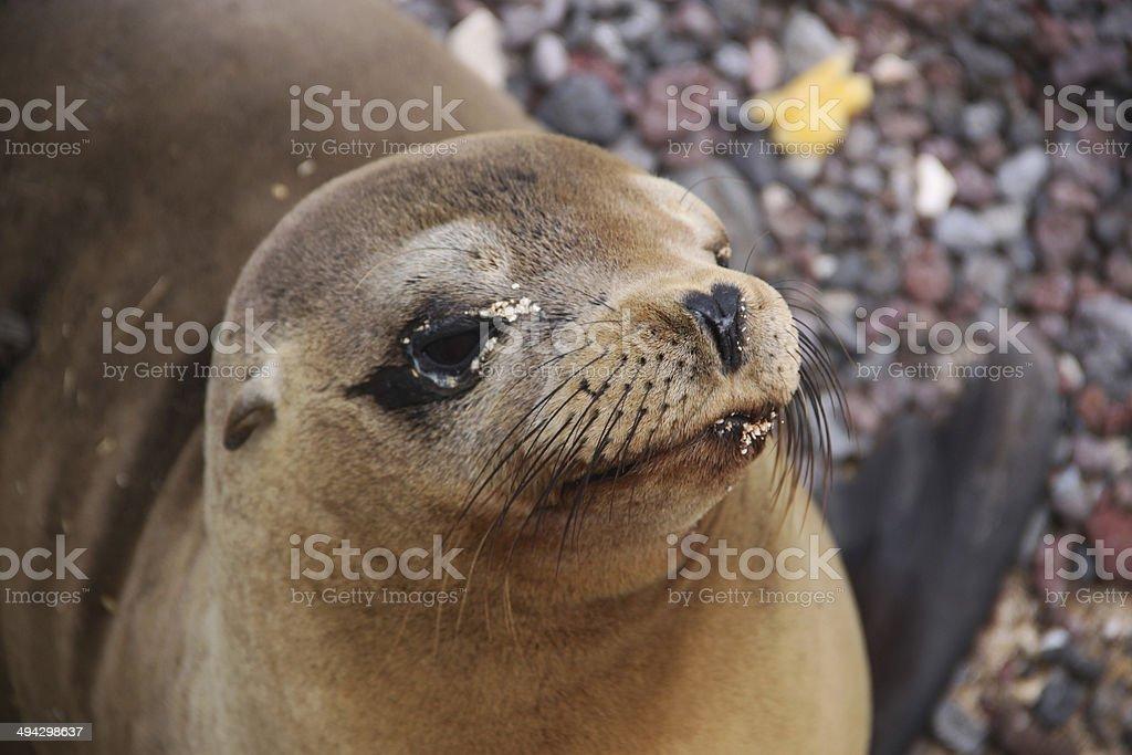 Galapagos: Galápagos fur seal on San Cristóbal Island stock photo