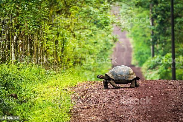 Galapagos giant tortoise crossing straight dirt road picture id517687306?b=1&k=6&m=517687306&s=612x612&h=pymt91oyy4fztt27uhz65pqt79q q  vhbp jg1wtmg=