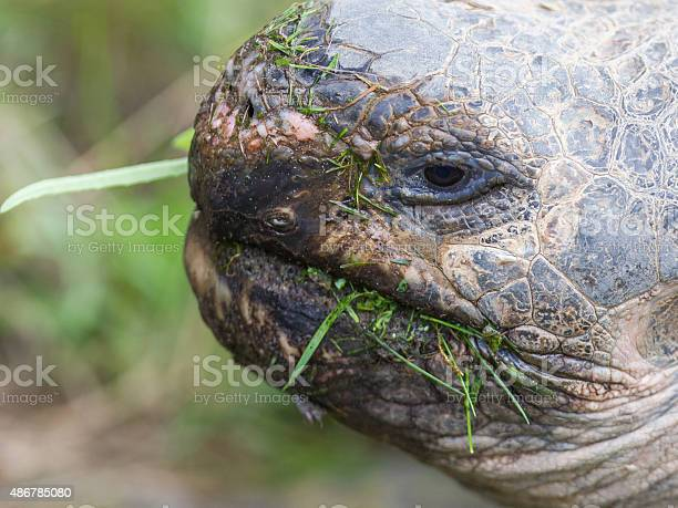 Galapagos giant tortoise eating picture id486785080?b=1&k=6&m=486785080&s=612x612&h=apywgi2baesjwhfrhvx3xrmhusw6uqmpvy3fmy1cqwk=