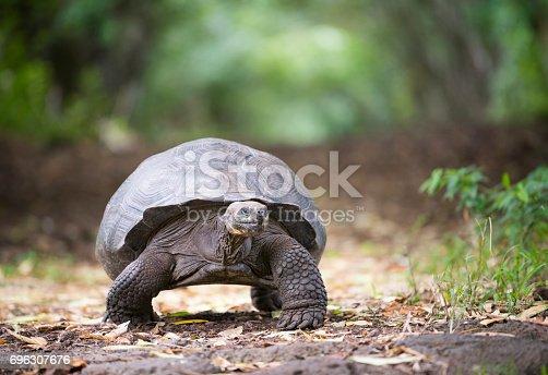 Unique photo of a huge fully grown Galapagos Giant Tortoise in wildlife. Highlands, Santa Cruz, Galapagos Islands, Ecuador. Nikon D810. Converted from RAW.