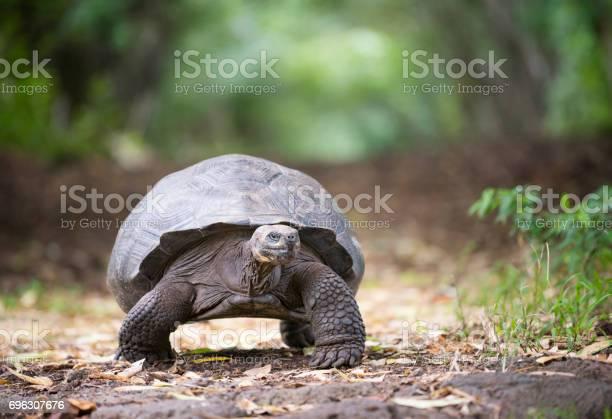 Galapagos giant tortoise galapagos islands ecuador picture id696307676?b=1&k=6&m=696307676&s=612x612&h=to47q4 abdkhkyudr3cnlw17b512zpgi mv2idp8xwq=