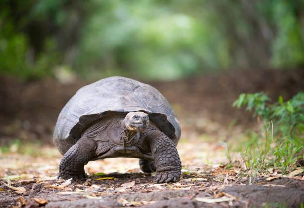 Galapagos Giant Tortoise, Galapagos Islands, Ecuador stock photo