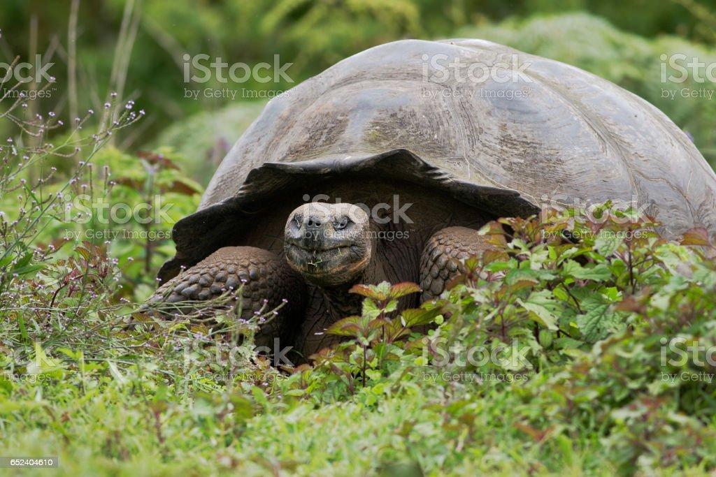 Galapagos giant tortoise (Chelonoidis porteri), Highlands, Santa Cruz, Galapagos Islands stock photo