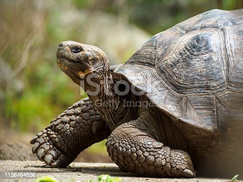 Portrait of Galápagos giant tortoise (Chelonoidis nigra) - the largest living species of tortoise, native to seven of the Galápagos Islands, a volcanic archipelago about 1000 km west of the Ecuadorian mainland. The image taken on Floreana island (Isla Floreana).