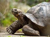 Portrait of Galápagos giant tortoise (Chelonoidis nigra) - the largest living species of tortoise, native to seven of the Galápagos Islands, a volcanic archipelago about 1000 km west of the Ecuadorian mainland. The image taken on Floreana island (Isla Floreana).