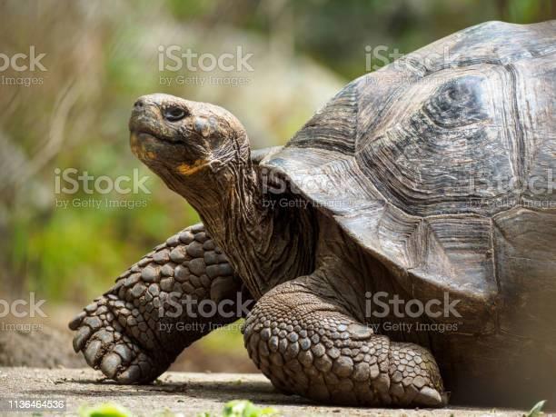 Galapagos giant tortoise on floreana island picture id1136464536?b=1&k=6&m=1136464536&s=612x612&h=c9ndzat20vllcltqigy9rtl m  awhgx617dne3tqbe=