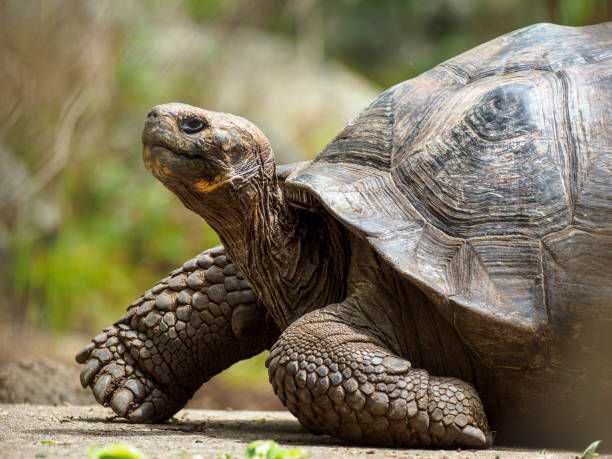 Galapagos Riesentorbe auf der Insel Floreana – Foto