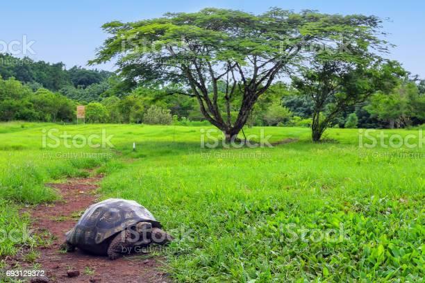 Galapagos giant tortoise on santa cruz island galapagos ecuador picture id693129372?b=1&k=6&m=693129372&s=612x612&h=wwjfcbxco rf8tqdbobbkujmygayxd7jz91rh871hx0=