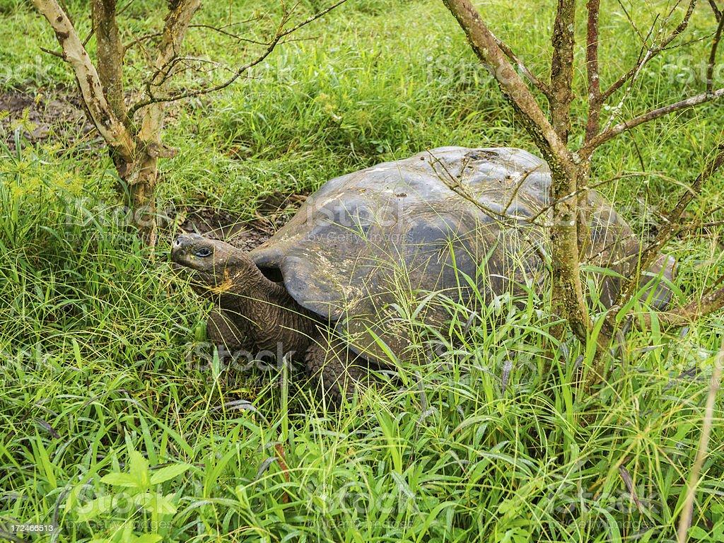 Galapagos Giant Tortoise royalty-free stock photo