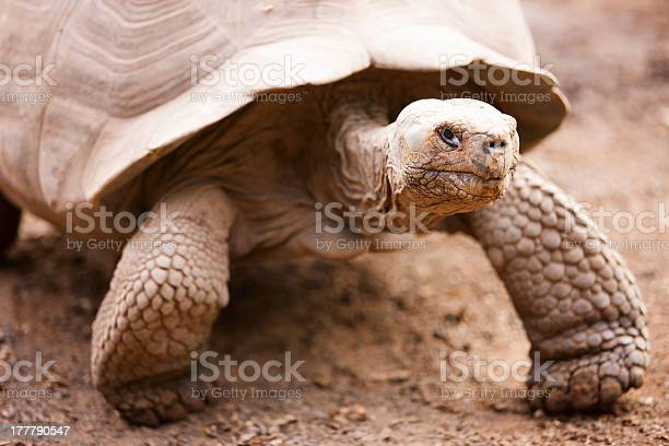 Galapagos giant tortoise picture id177790547?b=1&k=6&m=177790547&s=612x612&h=xupo5bqbfgahqpwft5sretalf6hfovacbc45fwt3r0y=