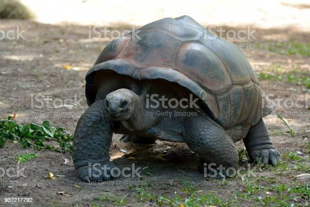 Galapagos giant tortoise picture id937217792?b=1&k=6&m=937217792&s=612x612&h=ubpzekhtgo8ve3dfsai mmlzt9q4rfhrrkx97i r8c0=