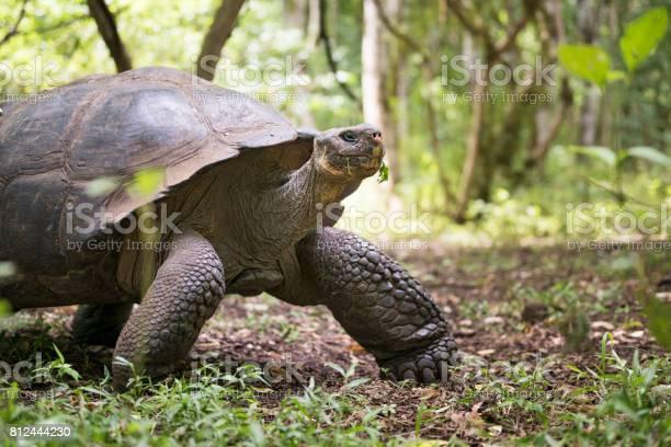 Galapagos giant tortoise turtle galapagos islands ecuador picture id812444230?b=1&k=6&m=812444230&s=612x612&h=rrkxhewb8yn  fgjklqqgwooc5d4rmiio057dtuyh2c=