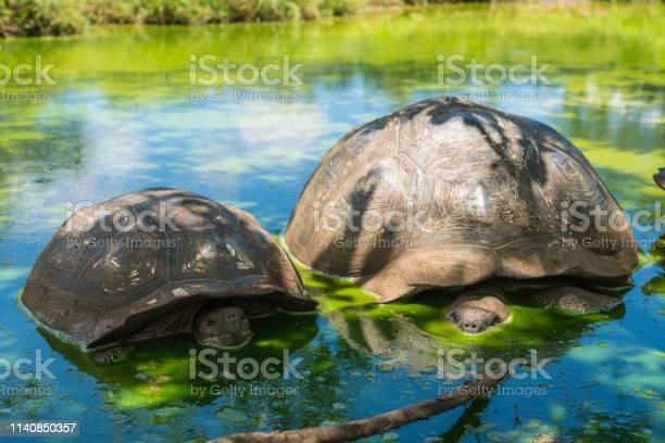 Galapagos giant tortoise turtle picture id1140850357?b=1&k=6&m=1140850357&s=612x612&h=gbqqfscvjws9og3l1cflrftru9gdjparbjm7vr4i9xi=