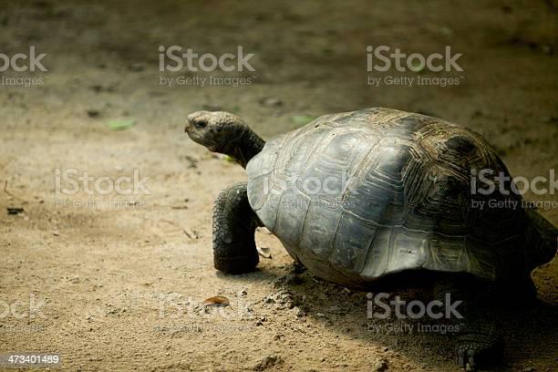 Galapagos giant tortoise walking away slowly picture id473401489?b=1&k=6&m=473401489&s=612x612&h=6sd5hv4gvlgooxncvxu d8bjietj5x p7lk1nar3l0s=
