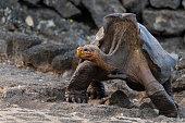 istock Galapagos Giant Tortoise walking, Galapagos islands 1253355805