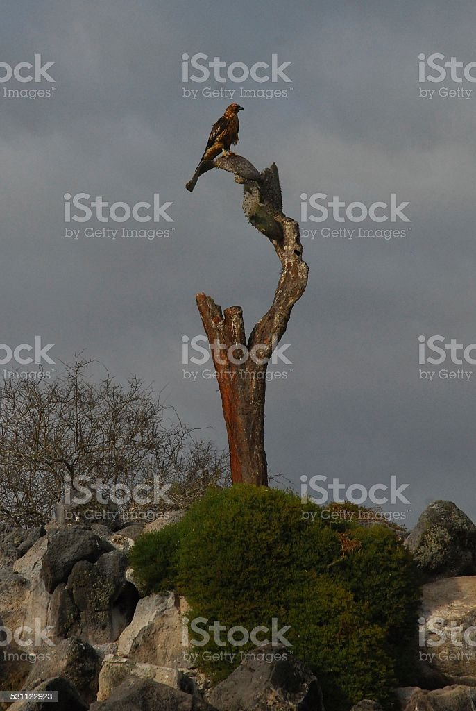 Galapagos Hawk Perched on a Tree Stump royalty-free stock photo