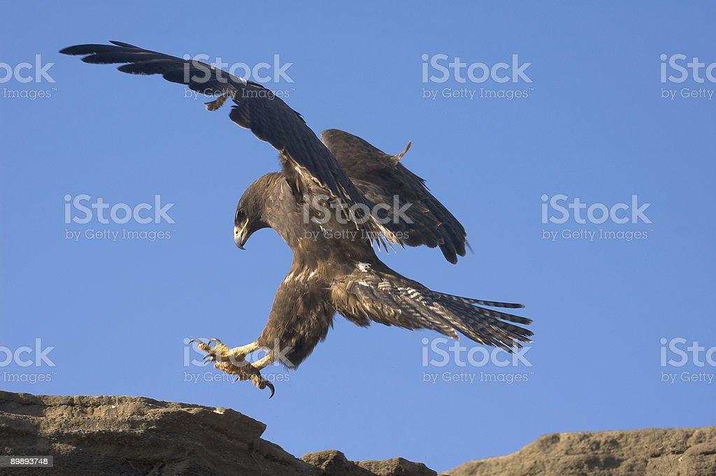 Галапагосский канюк Стоковые фото Стоковая фотография