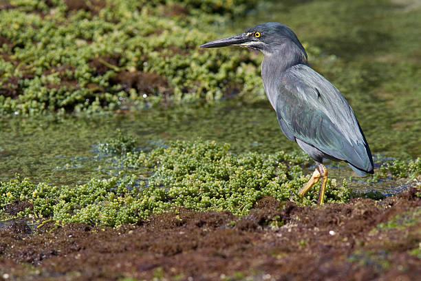 galapagos (lava) heron - balıkçıl stok fotoğraflar ve resimler