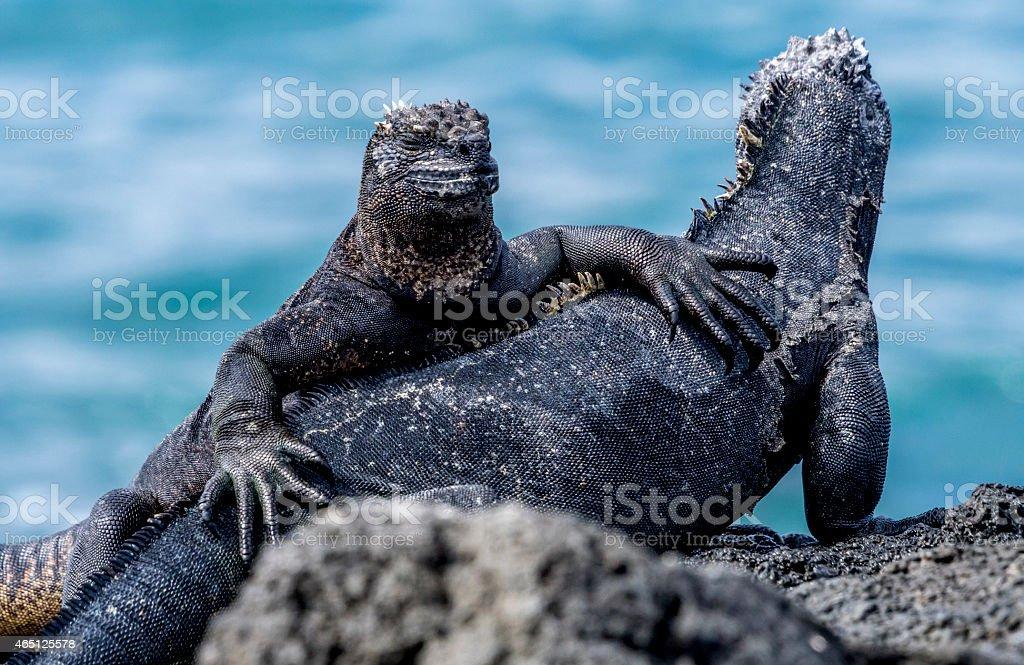 Galapagos Islands Marine Iguanas stock photo