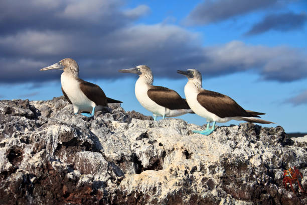 Galapagos Islands: Three Blue-Footed Boobies stock photo