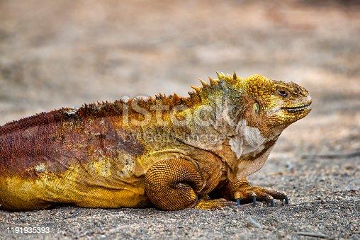 A Galapagos land iguana (Conolophus subcristatus) at Isabela Island, Galapagos. This special subspecies of Igunana is endemic to the Galapagos Islands. Wildlife shot.