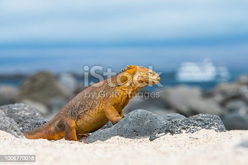A Galapagos land iguana (Conolophus subcristatus) at North Seymour Island, Galapagos - in the background a tourist cruise ship is visible (but not recognizeable). This special subspecies of Igunana is endemic to the Galapagos Islands. Wildlife shot.