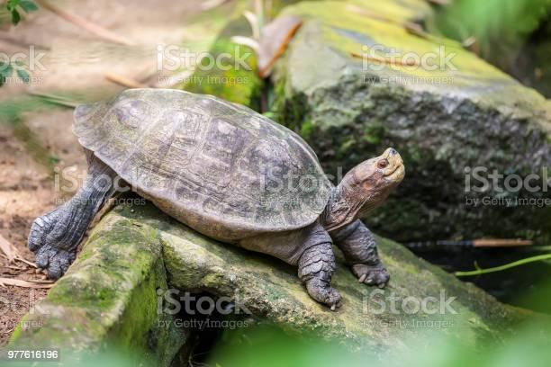 Galapagos (giant) land turtle