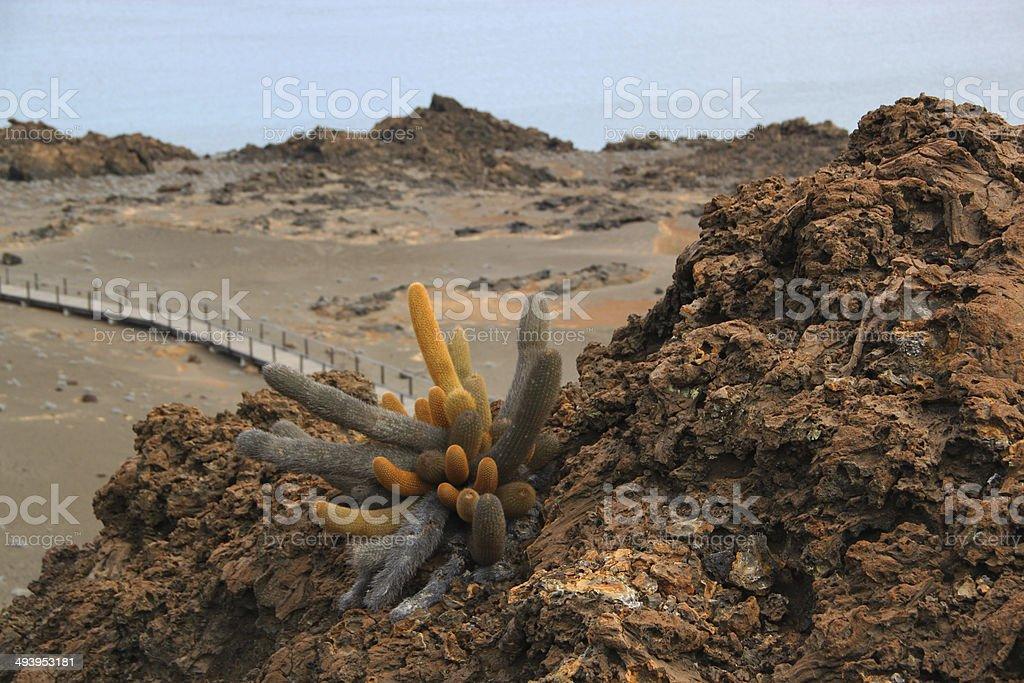 Galapagos: Lava Cactus on Bartolomé Island stock photo