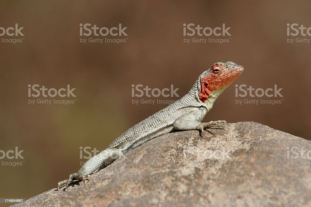 Galapagos Lava Lizard Sunning on Rock royalty-free stock photo