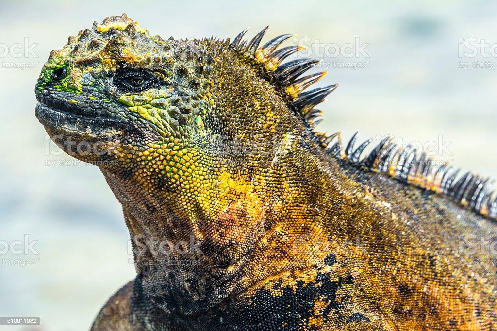 Galapagos marine iguana, Isabela island (Ecuador) stock photo