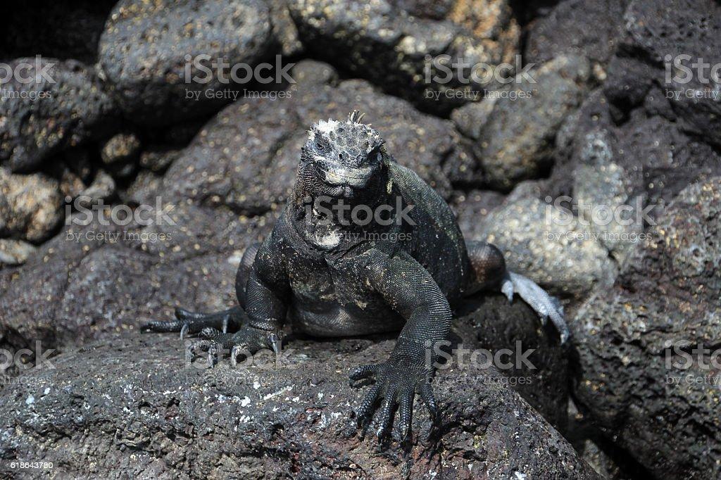 Galapagos Marine Iguana On Lava Rocks stock photo 618643780 | iStock