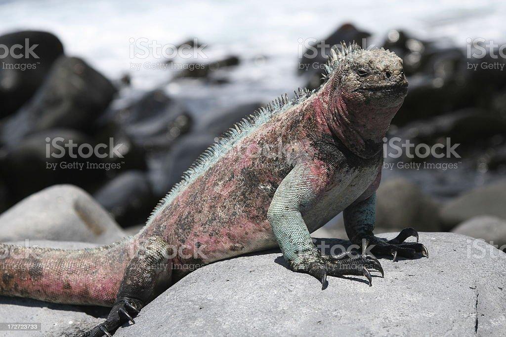 Galapagos marine iguana stock photo