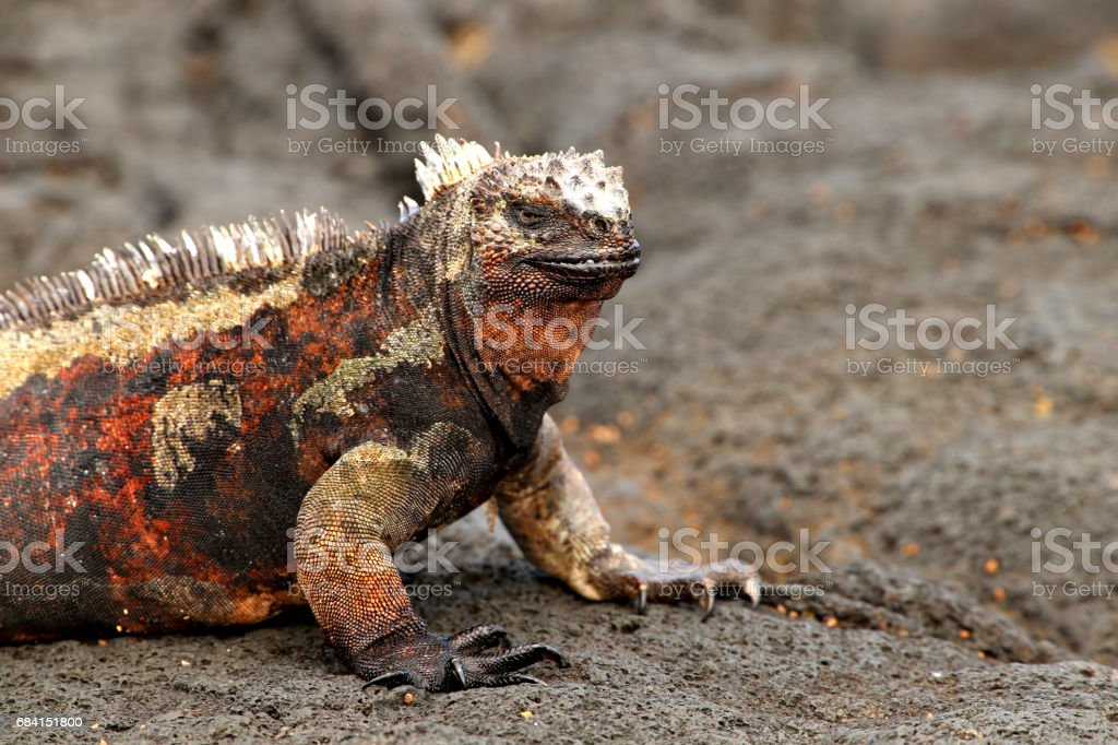 Galapagos marine iguana royalty-free stock photo