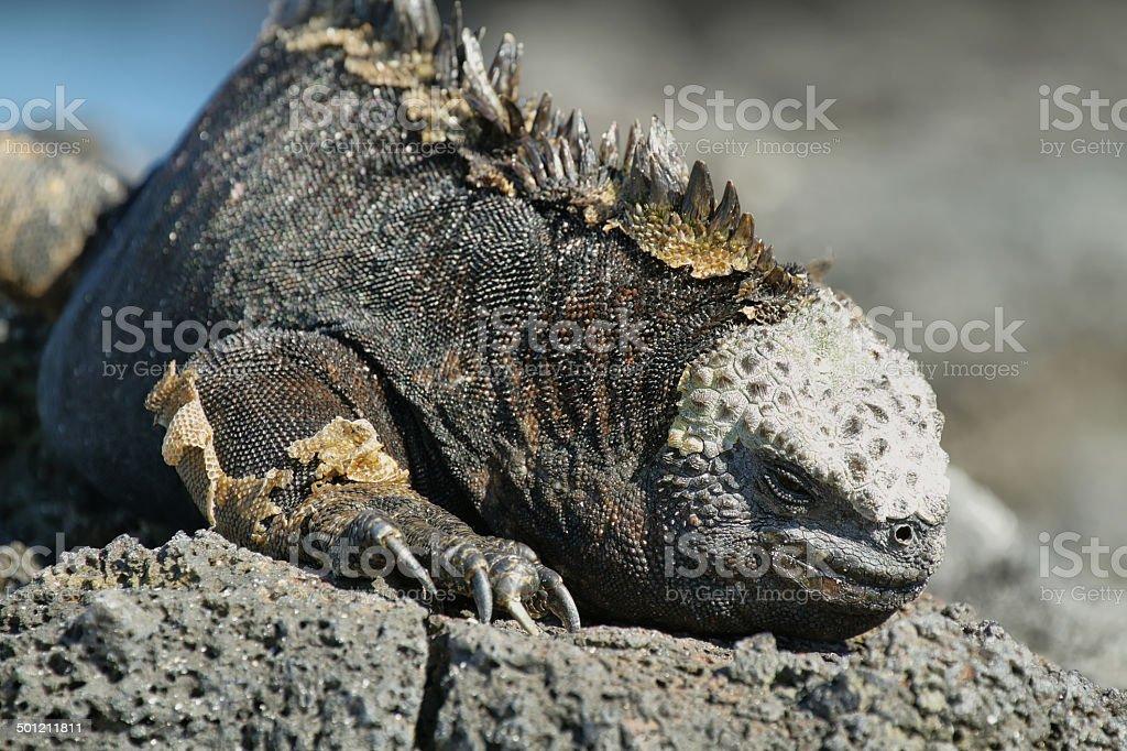 Galapagos Marine Iguana resting on rocks royalty-free stock photo