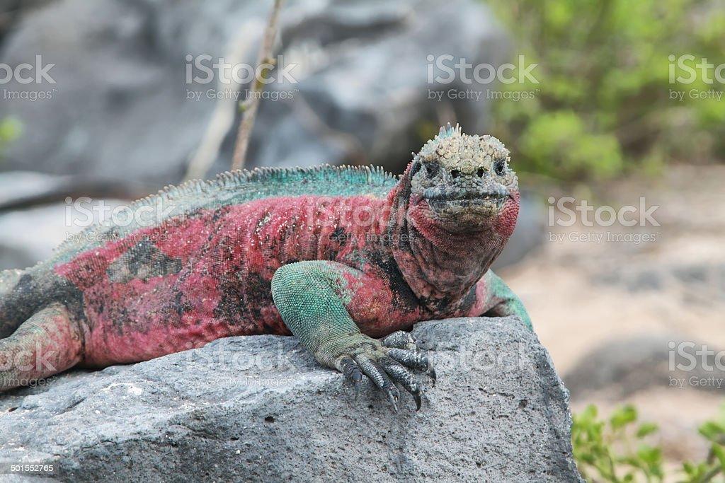 Galapagos Marine Iguana resting on rocks stock photo