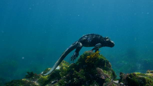 Galapagos Marine Iguana stand at undersea rock stock photo