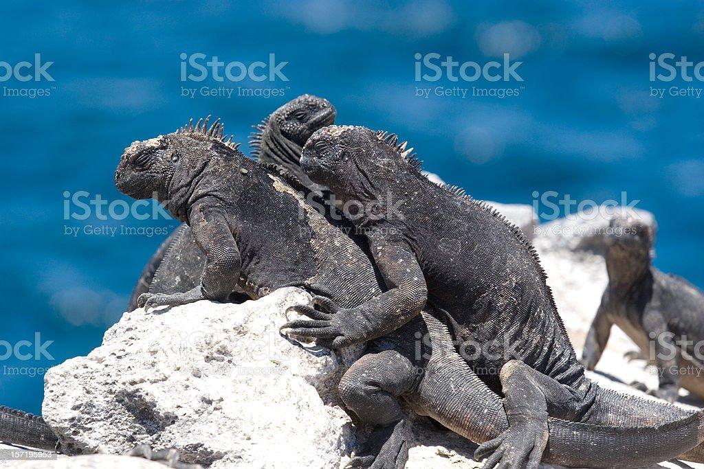 Galapagos Marine Iguanas stock photo