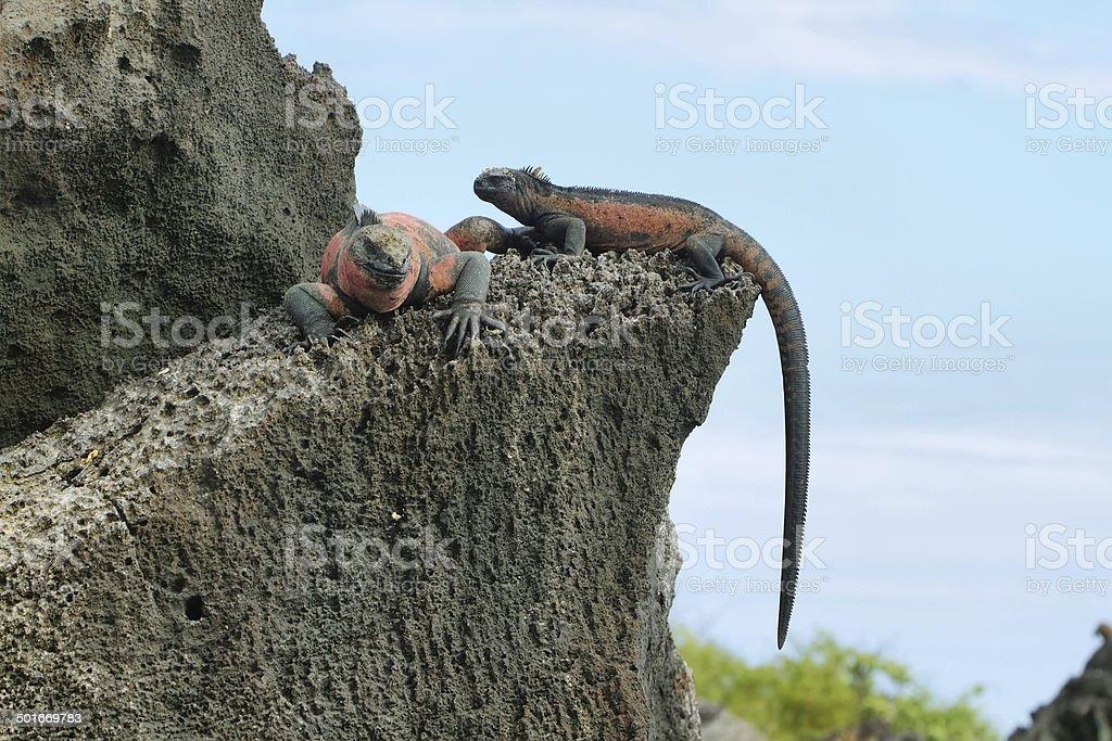 Galapagos Marine Iguanas resting on rocks stock photo