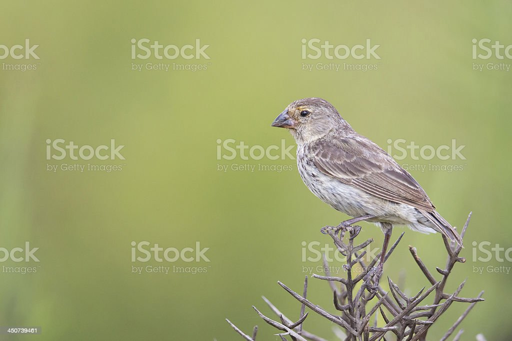 Galapagos Medium-ground Finch (Geospiza fortis) young perched stock photo