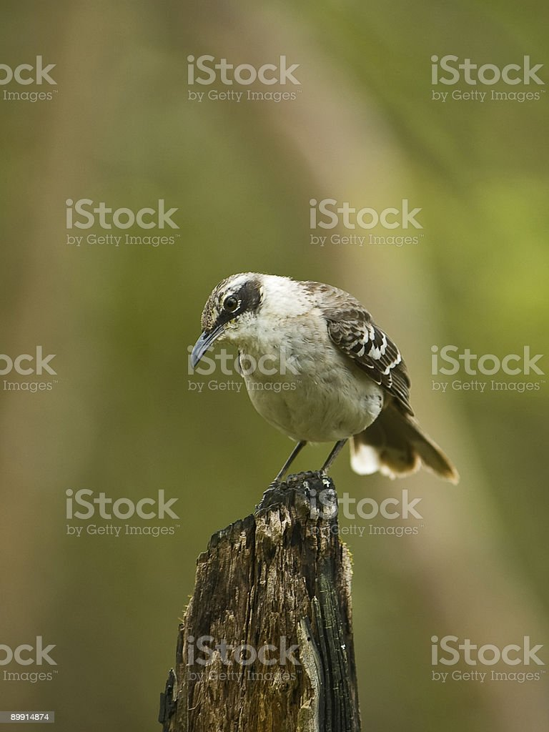 Galapagos Mockingbird royalty free stockfoto
