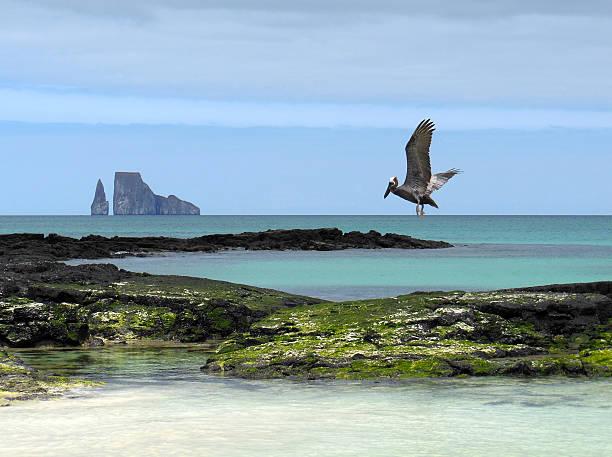 Pélican des Galapagos - Photo
