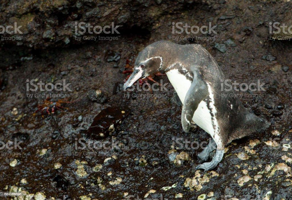 Galapagos penguin royalty-free stock photo