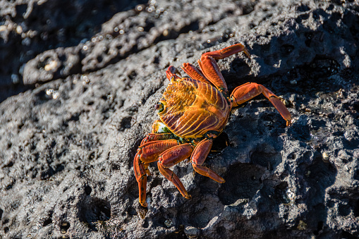 A red crab walks on the rocks looking for food on the rocks of the Santa Cruz island in the Galapagos